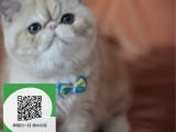 徐州哪里开猫舍卖加菲猫 去哪里可以买得到纯种加菲猫