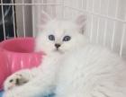英短纯白猫一蓝猫一银渐层一金吉拉一可上门挑选宠物猫
