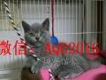 舍出售俄罗斯蓝猫 包纯种健康 可签协议 可上门挑选