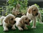 繁殖高品质拉布拉多纯种幼犬 拉布拉多宠物狗