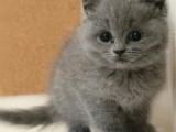 河南郑州正品蓝猫猫舍价格多少