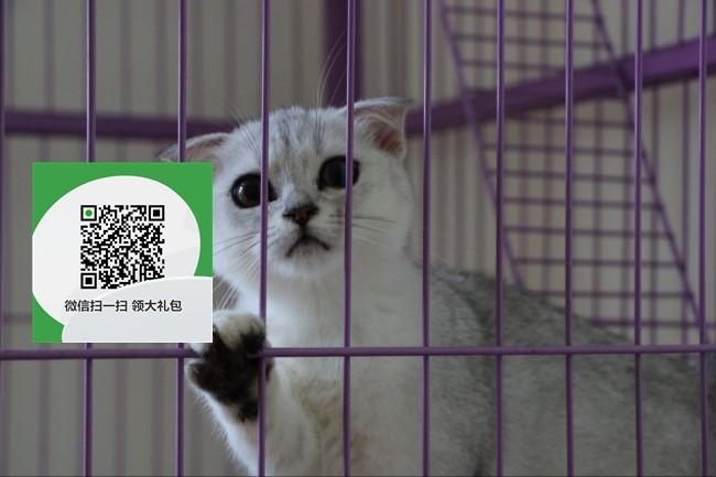 镇江哪里有折耳猫出售 镇江折耳猫价格 折耳猫多少钱