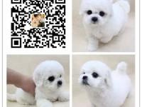 重庆犬舍出售纯种比熊犬 自产自销 签协议 面对面交易