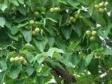 国标一级桐油、二级桐油、熟桐油、生榨桐油