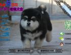 宠物店和狗市里的阿拉斯加可以买吗 健康的多少钱一只