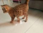豹猫玫瑰空心大花十一个月成母1888 猫咪价格以标