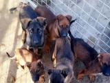 个人出售工作犬护卫犬DDR东德和马犬,长期有效