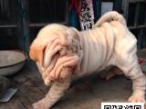 沙皮犬纯正健康出售-幼犬出售,当地可以上门挑选