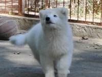 出售微笑天使萨摩耶犬
