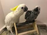 出售葵花鹦鹉 亚马逊鹦鹉 灰鹦鹉 大绯胸鹦鹉 金刚鹦鹉 折衷