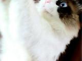 上海宝山包子脸加菲猫放心购买