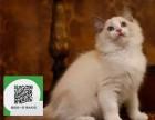 烟台哪里有宠物猫出售,烟台哪里有卖纯种布偶猫价格