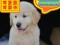 优选犬舍   自家狗场繁殖金毛犬——品质健康有保障—可刷卡签协议