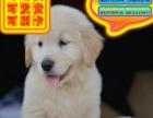 优选犬舍   自家狗场繁殖金毛犬品质健康有保障可刷卡签协议