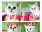 猫舍美国短毛猫银渐层折耳猫金吉拉加菲猫波斯猫