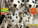 哪里出售斑点狗 纯种斑点狗多少钱