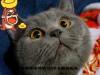 精品包子脸蓝猫纯种健
