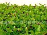 萝卜苗高效栽培技术 优质萝卜芽苗菜 厂家直销芽苗菜专用生产设备