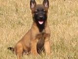 成都出售纯种比利时马犬幼犬 高智商活体宠物