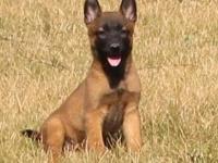 成都出售純種比利時馬犬幼犬 高智商活體寵物