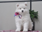 北京出售 萨摩耶幼犬 纯种健康保障 疫苗驱虫已做 签协议