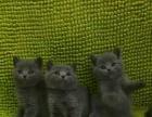 纯种英短蓝猫弟弟