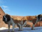 长期出售大丹、圣伯纳犬幼犬并有多条种公种母出售