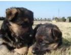 货到付款 可基地挑选 专业繁殖德国牧羊犬 签协议包