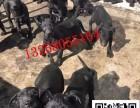 两个月的黑狼犬价格是多少哪里有卖黑狼犬幼犬的