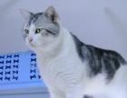 美国短毛猫银虎斑《加白种公配种》借配,另有美短幼猫