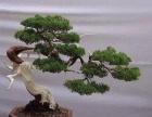 【永福花乡】罗汉松盆景,桂花景观大树,茶花景观大树