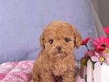 广东中山纯种泰迪幼犬一般多少钱一只