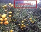 代办蜜桔,碰柑,雪橙,血橙等品种