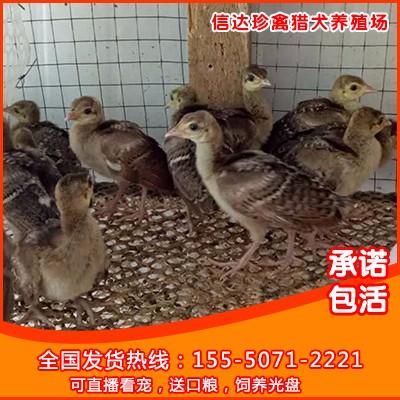 优质蓝 白孔雀 商品孔雀 青年孔雀 孔雀苗