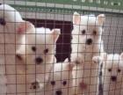 川汇家养银狐犬,公母都有,可上门挑选可视频看狗送货