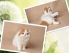 杭州南京蘇州寧波布偶折耳波斯短毛貓價格表 雙飛貓