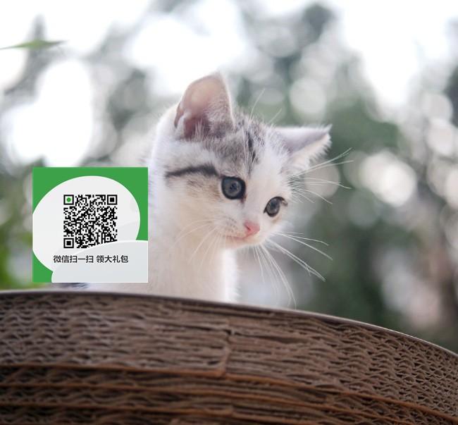 楚雄哪里卖虎斑猫 楚雄哪里有宠物店 楚雄哪里卖宠物猫便宜
