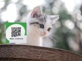 绵阳哪里卖蓝猫 绵阳哪里有宠物店 绵阳哪里卖宠物猫便宜