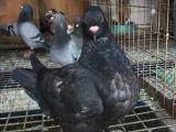 圆环种鸽加小崽出售
