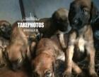 自家繁殖阿富汗猎犬