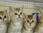 (贵族名猫馆) WCF血统金渐层种公借配 幼猫出售