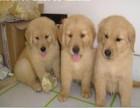 常年销售 金毛犬 高品质有保障犬一顾客信赖的选择