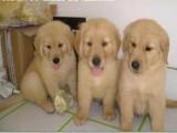 信誉服务 高端品质保障 纯种金毛犬 常年有货