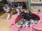 美国短毛猫,美短加白,美短银虎斑小猫,家养欢迎上门