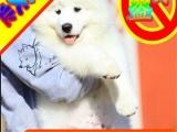 买纯种萨摩耶幼犬——保纯保健康 签协议——送狗上门