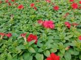 洛阳时令草花批发草花价格四季草花出售草花花卉批发一串红万寿菊