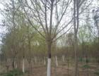 菏泽10公分白蜡树基地出售优质品种