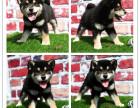 哪里有卖微笑柴犬 聪明可爱家庭伴侣犬 健康保障 自家繁殖