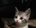 美短加白美短活体美短宠物猫活体美短银虎斑美短幼猫纯