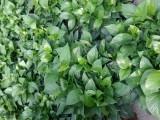 本店主营:花卉绿植苗木,花肥花药配件,批零兼营